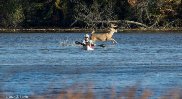 Buck photobombing a kayaker