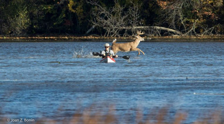 Buck photobombing a kayaker